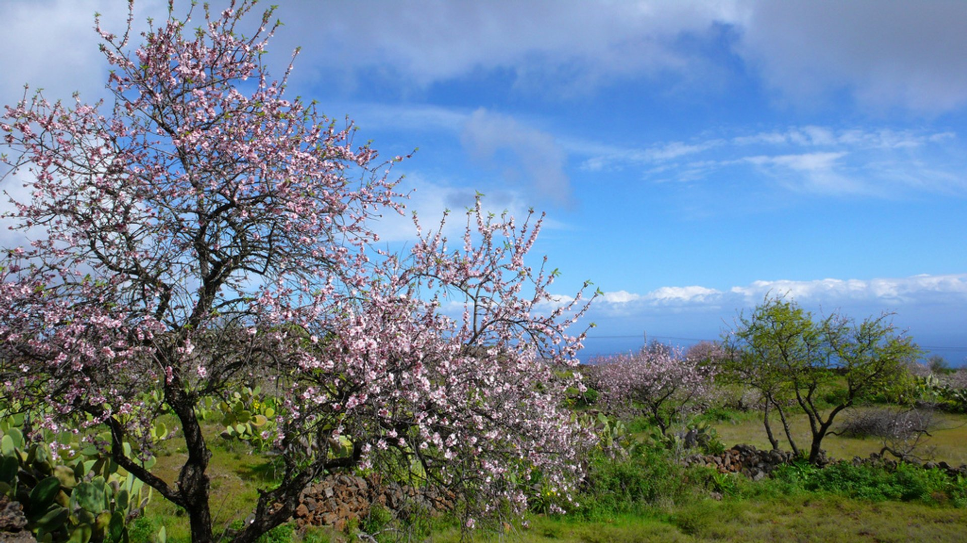 Almond Trees in Bloom in Canary Islands - Best Season