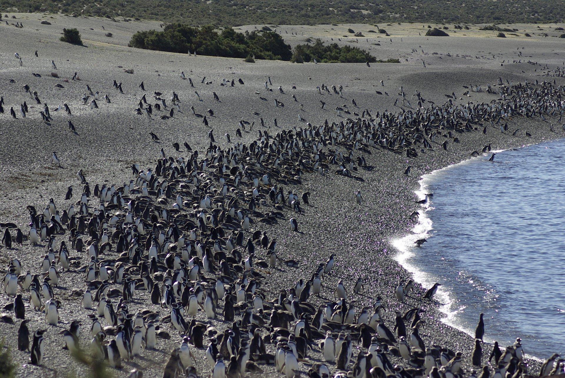 Penguins in Argentina - Best Season 2020