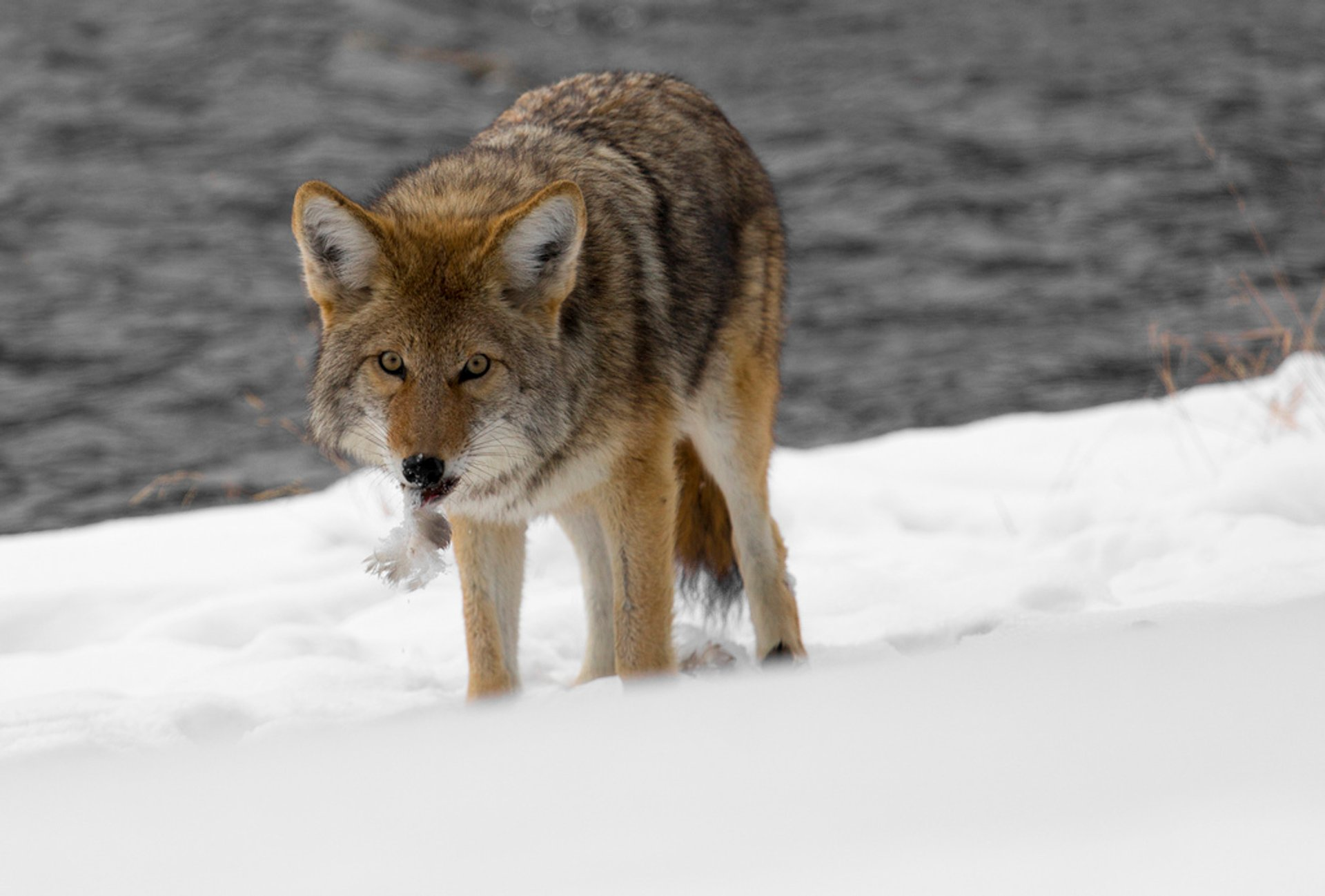 Coyotes in Yellowstone National Park - Best Season 2019
