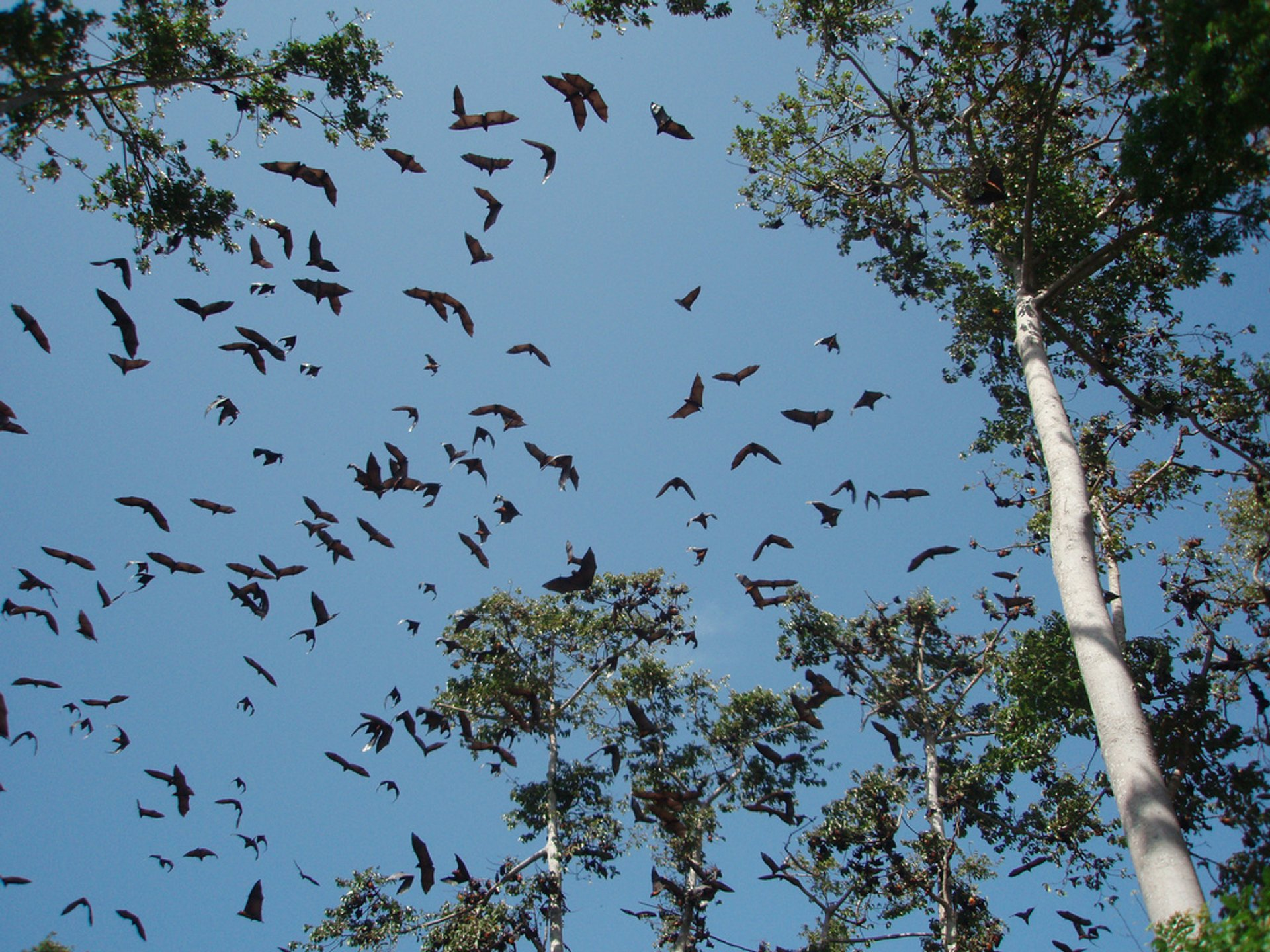 Best time for Pemba Flying Fox Breeding Season in Zanzibar 2020