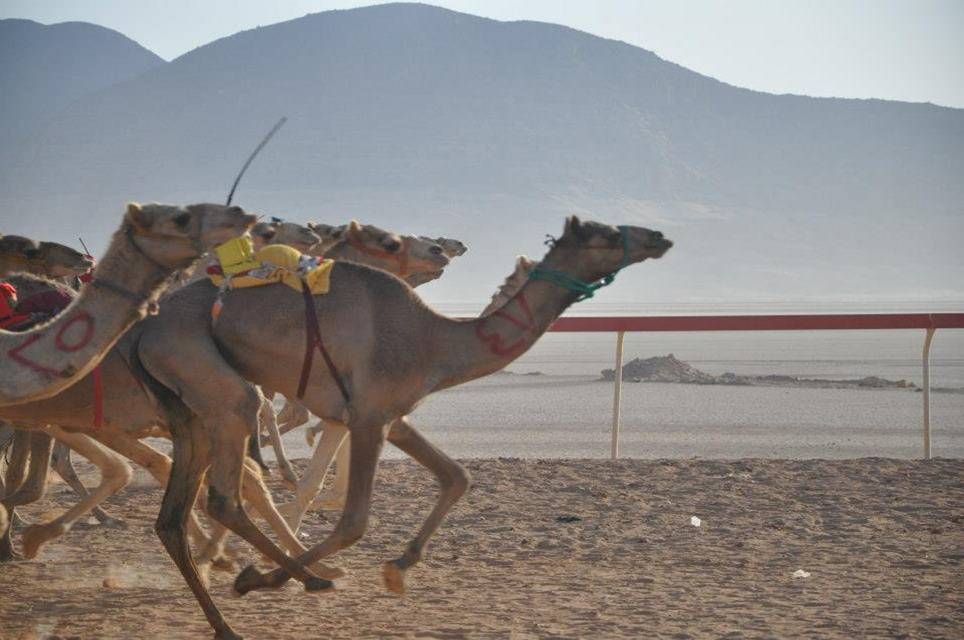 Camel Races in Jordan 2019 - Best Time