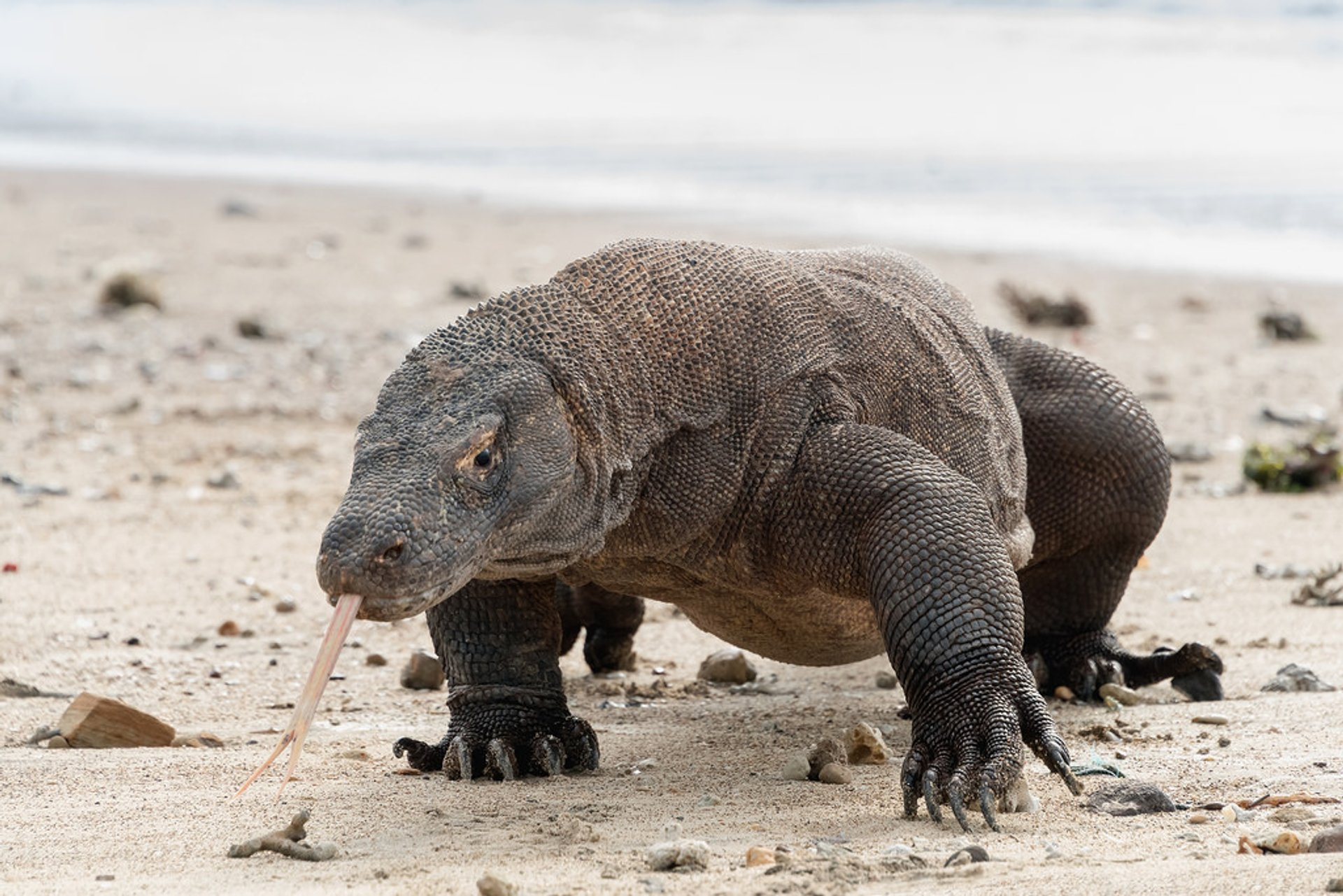 Best time to see Komodo Dragons in Indonesia 2020