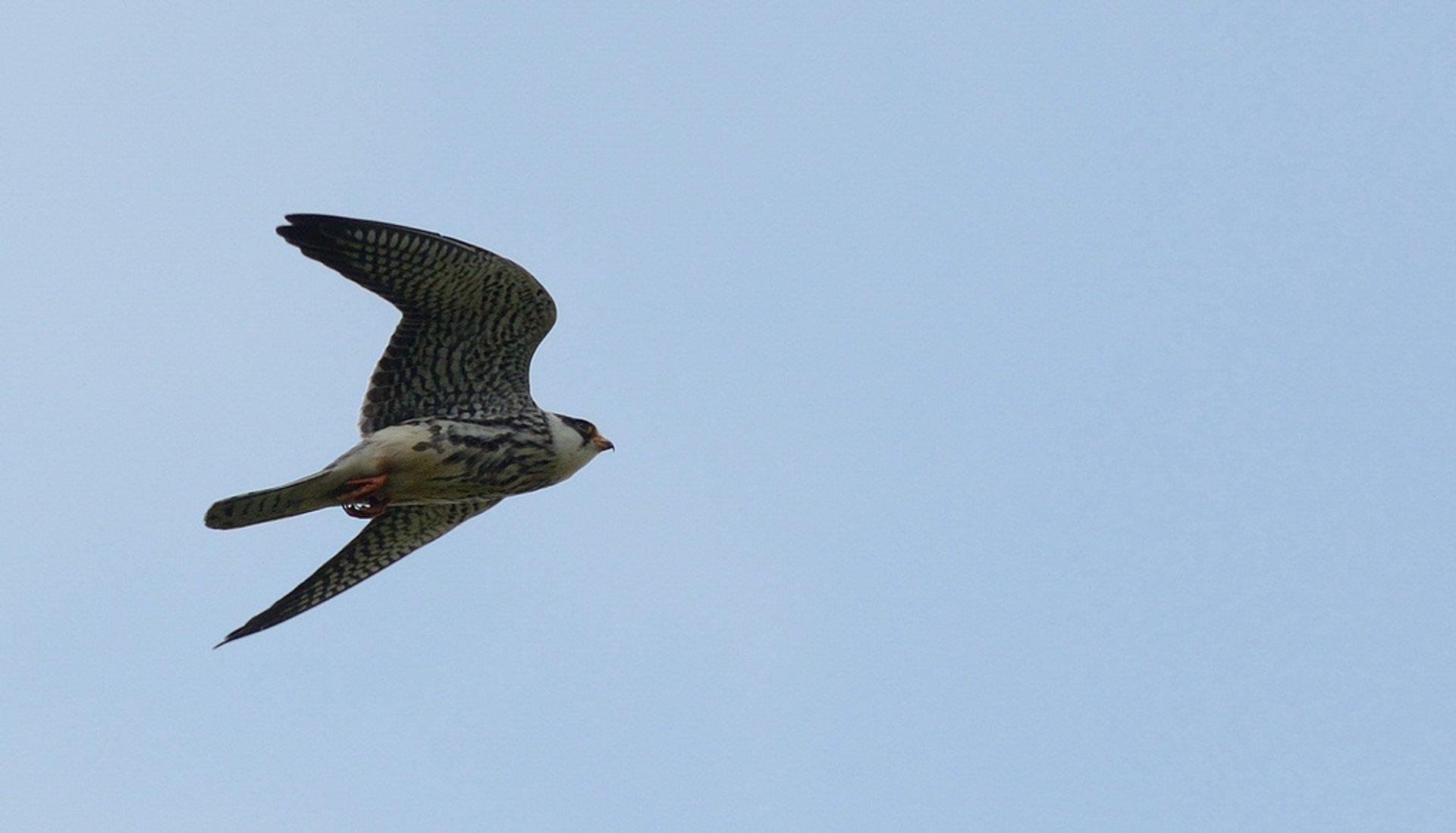 Falco amurensis (Amur Falcon) 2019