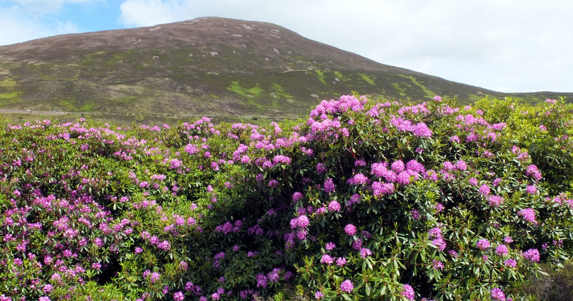 Vee Pass Rhododendrons in Ireland 2020 - Best Time