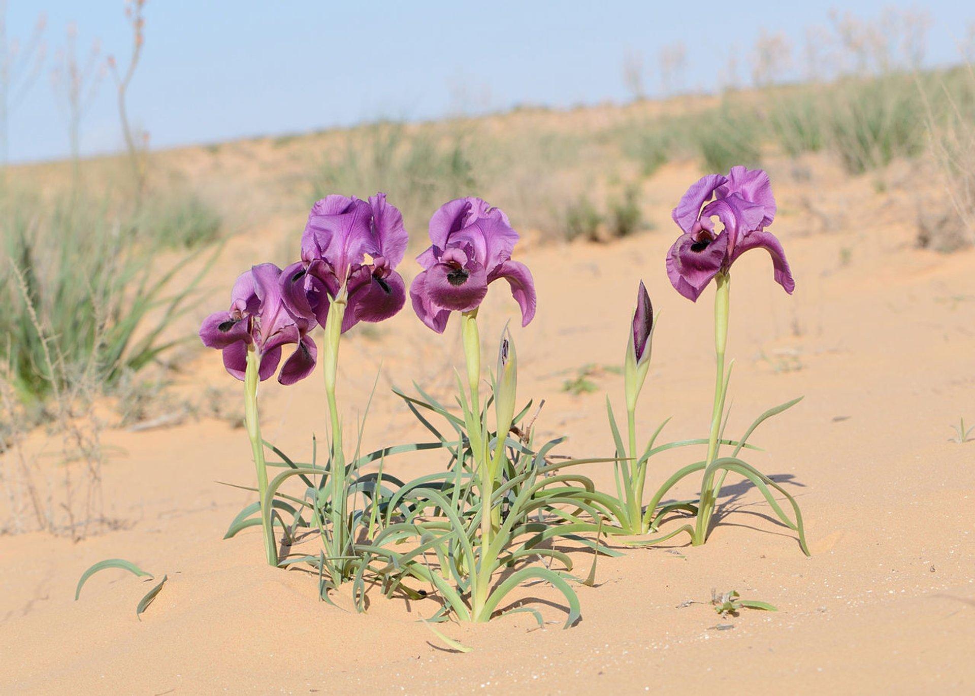Negev Iris in Bloom in Israel 2020 - Best Time