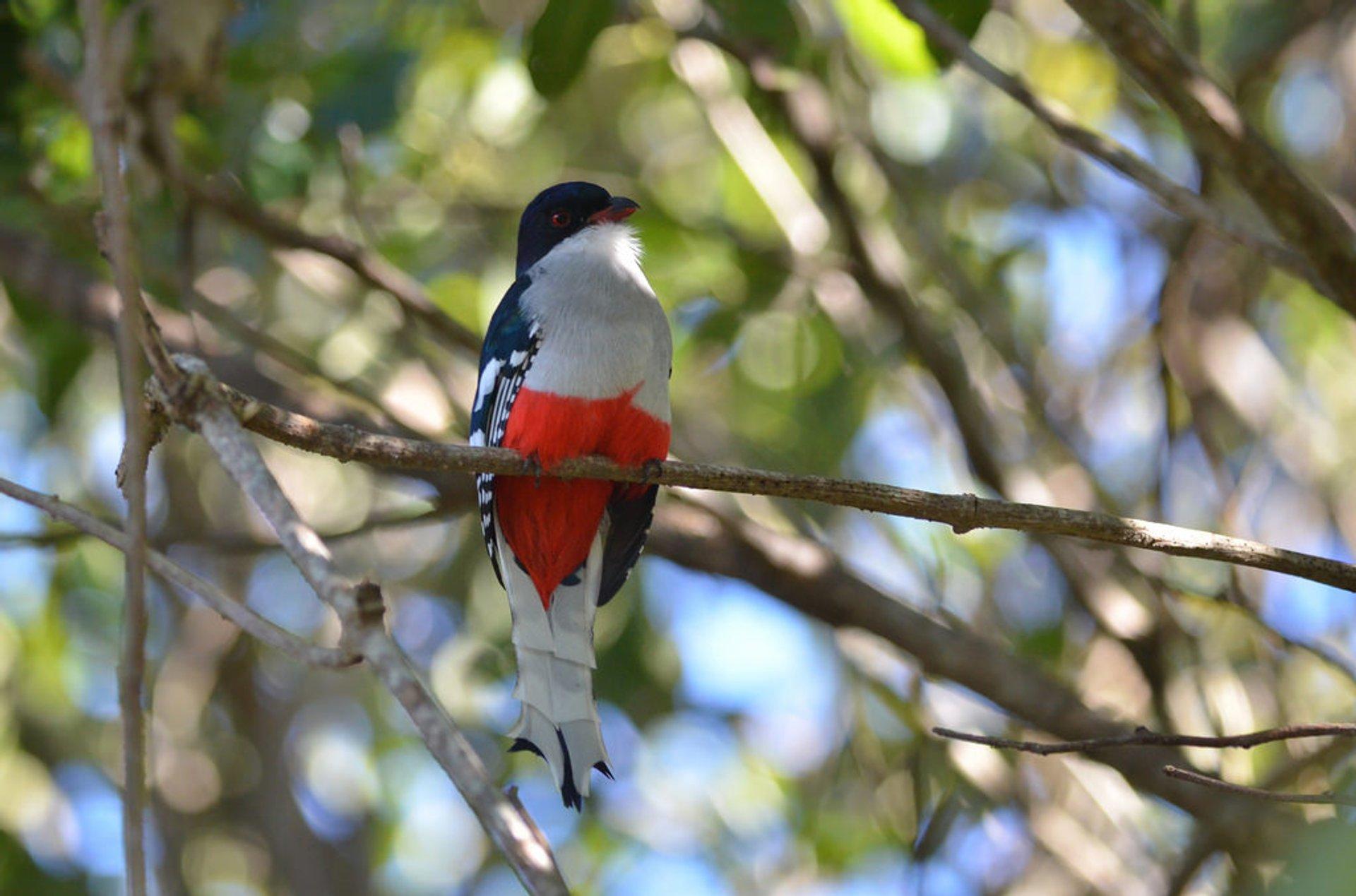 Tocororo (Cuban Trogon) Breeding Season in Cuba 2019 - Best Time