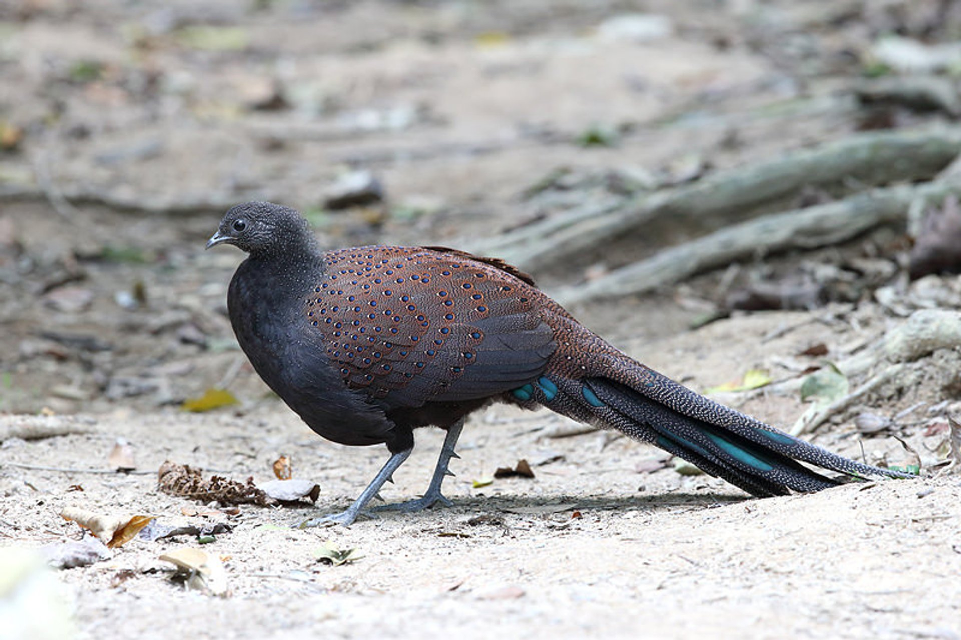 Malayan peacock-pheasants 2019