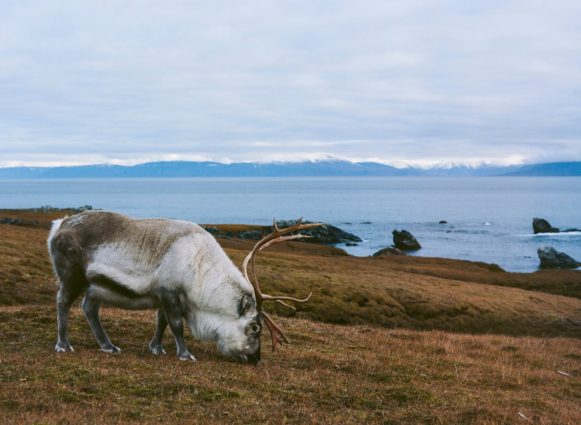 Reindeer in Svalbard - Best Season 2020