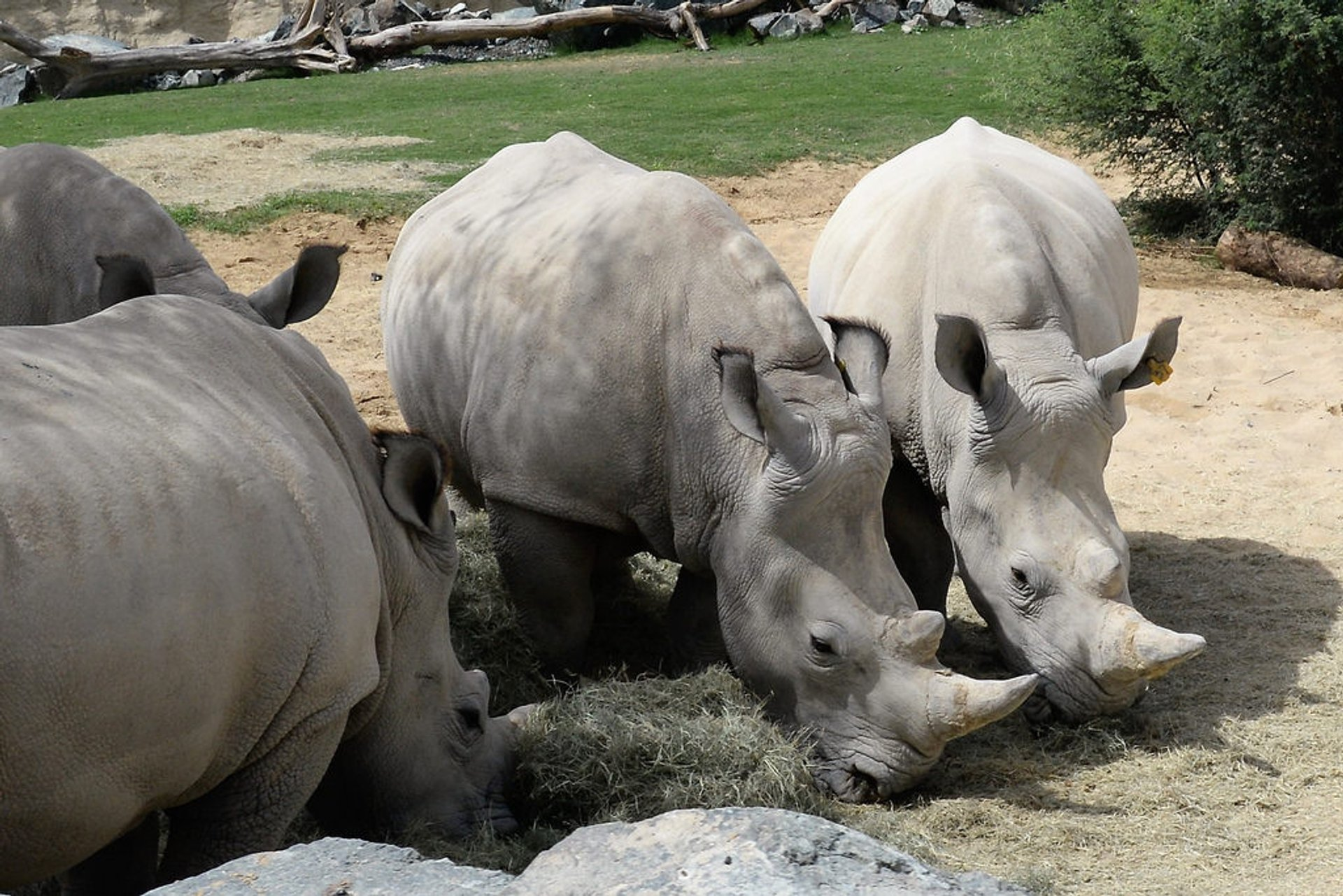 White rhinos of Dubai Safari Park 2020