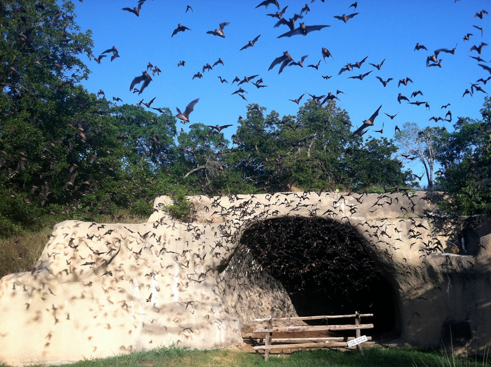 Bats emerging from Chiroptorium 2019