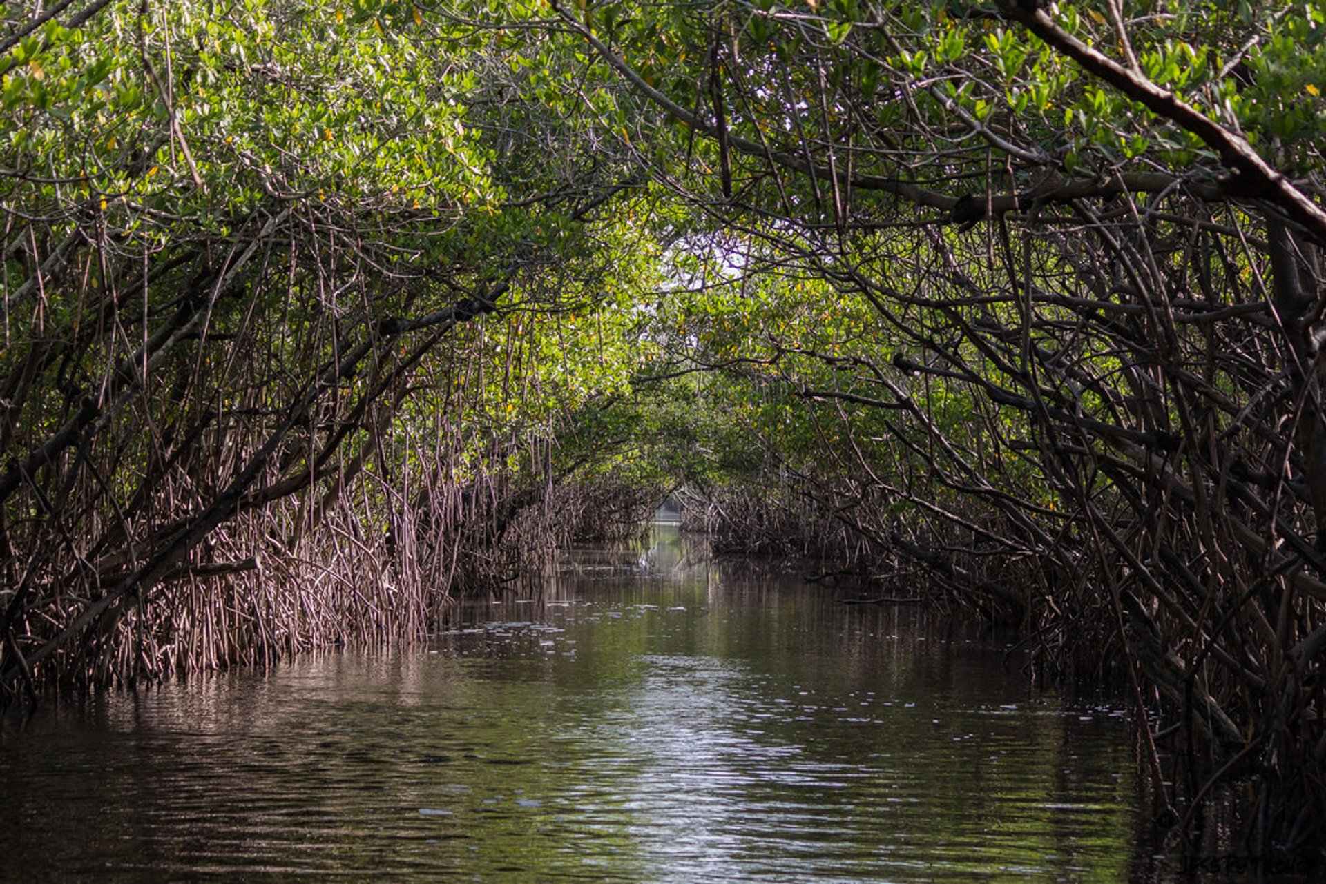 Through the mangroves 2020