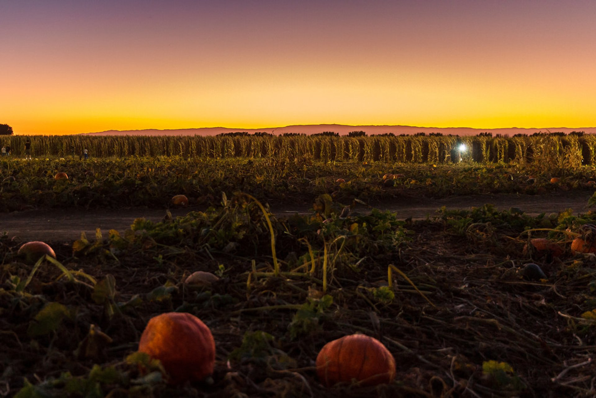 Cool Patch Pumpkins Corn Maze in California - Best Season 2020