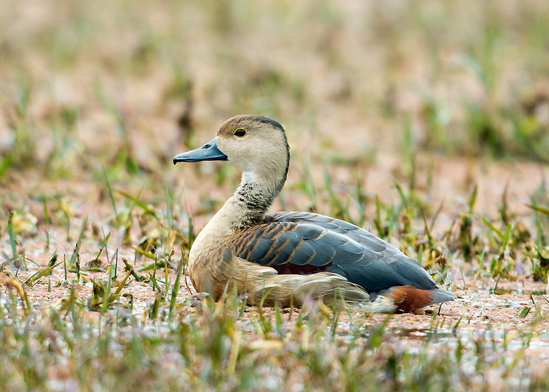 Lesser Whistling Duck in Keoladeo National Park 2020