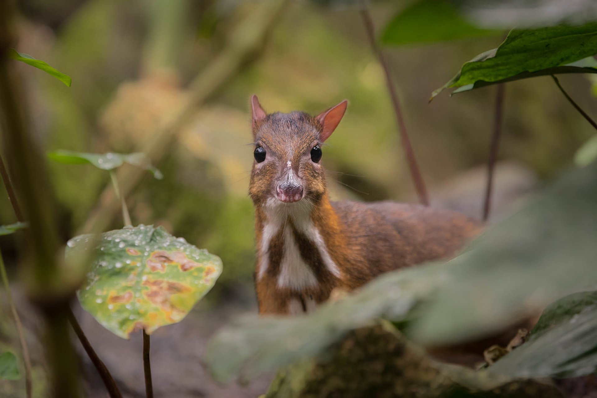 Java Mouse-Deer Breeding in Indonesia - Best Time