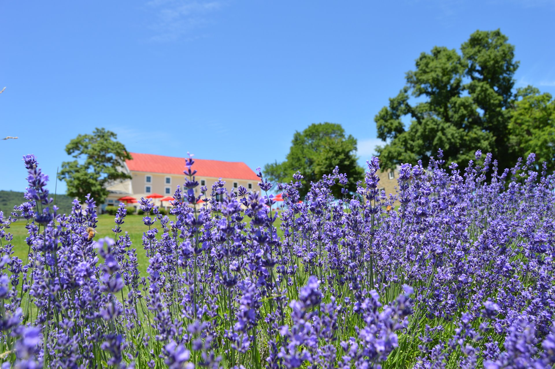 Maryland Lavender Festival in Maryland 2020 - Best Time