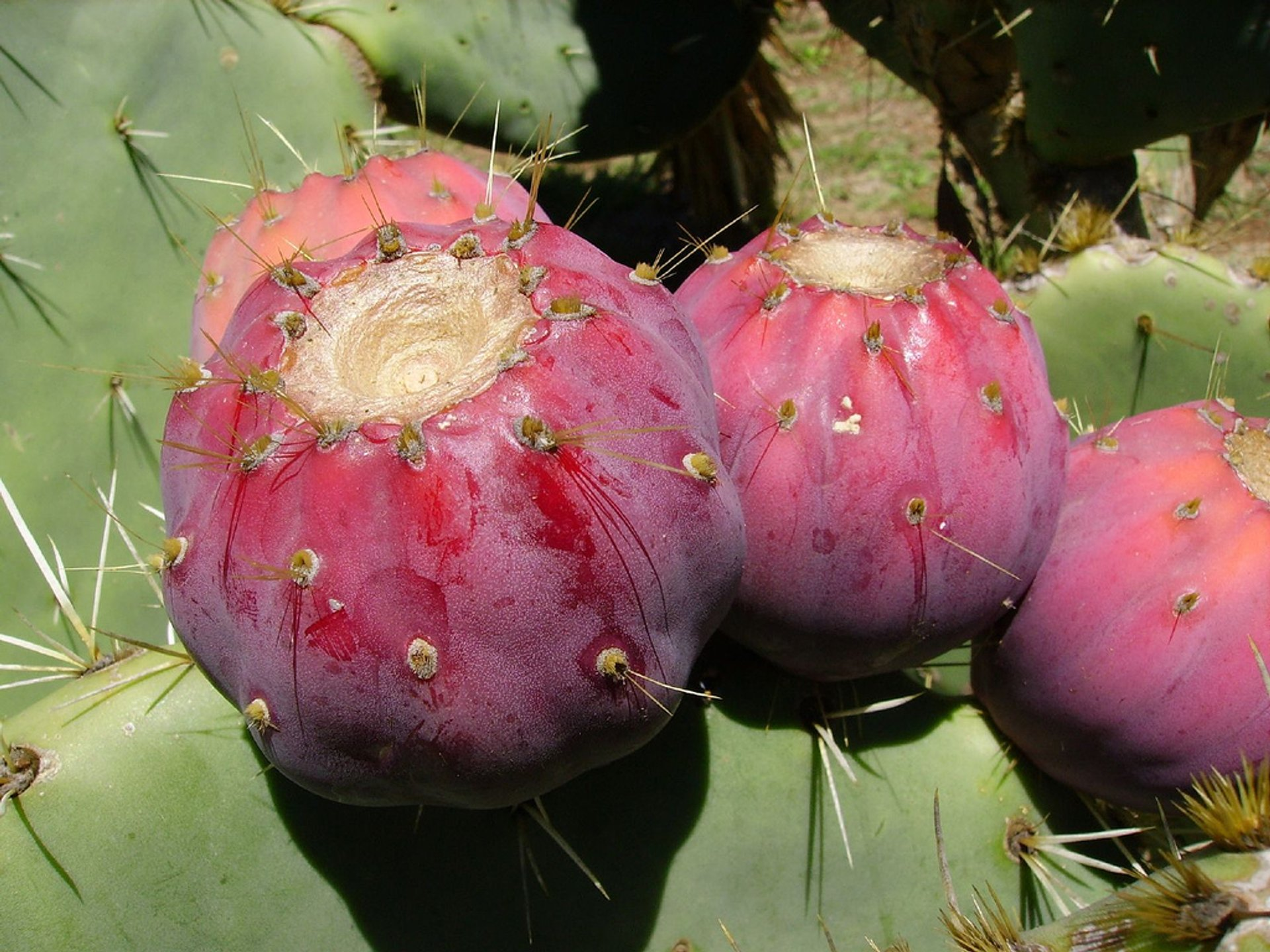 Opuntia or Prickly Pear in Croatia - Best Season