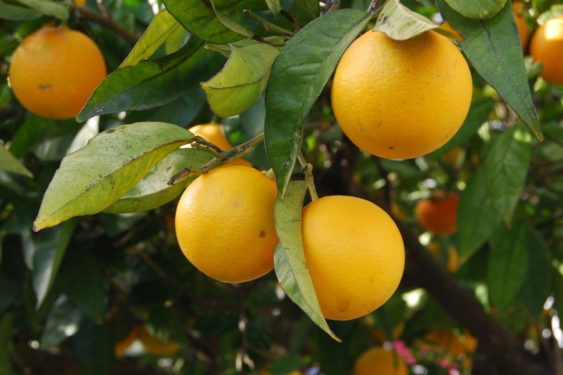 Orange Harvest in Portugal 2020 - Best Time