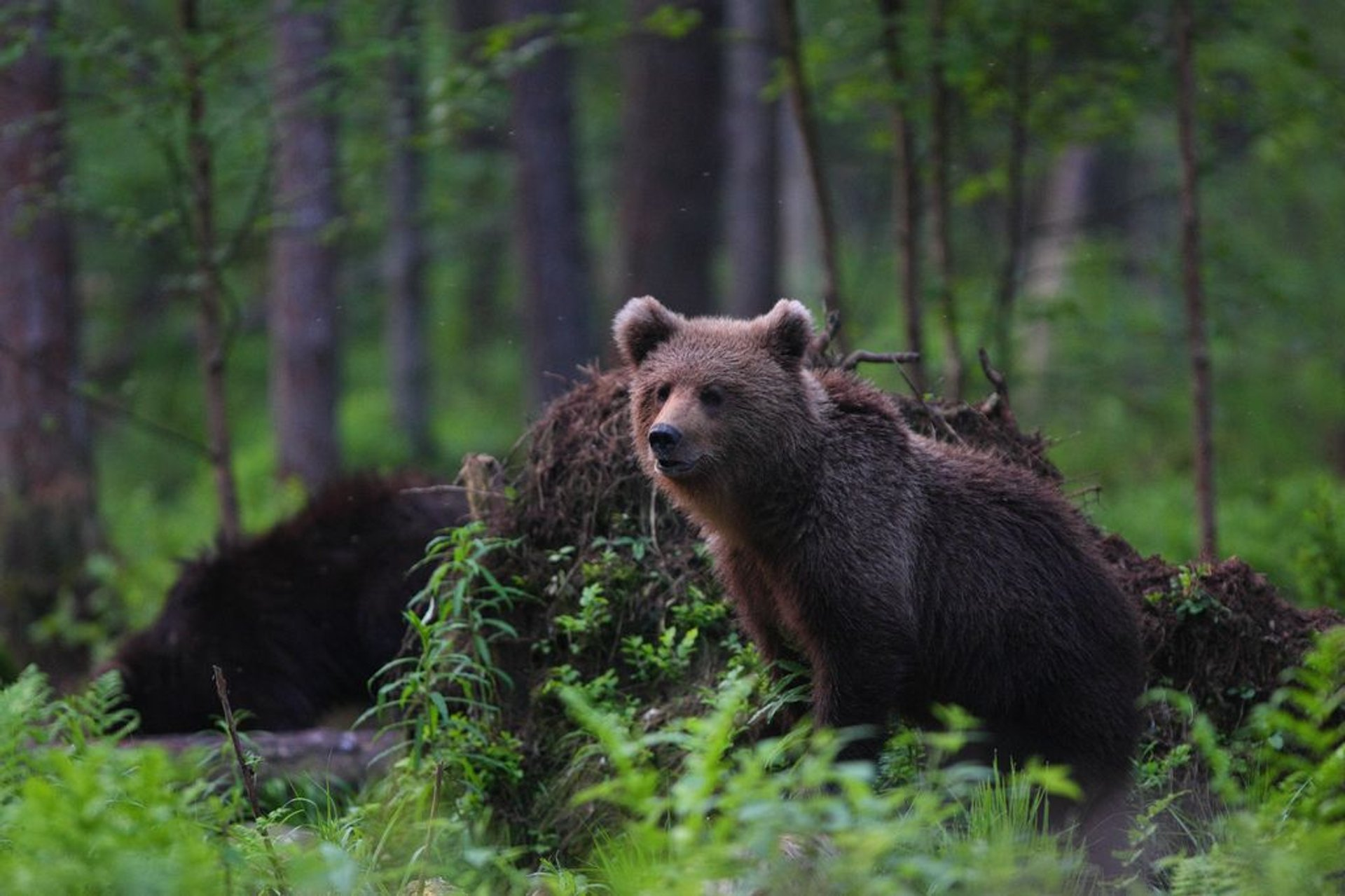 Brown Bear Watching in Estonia 2020 - Best Time