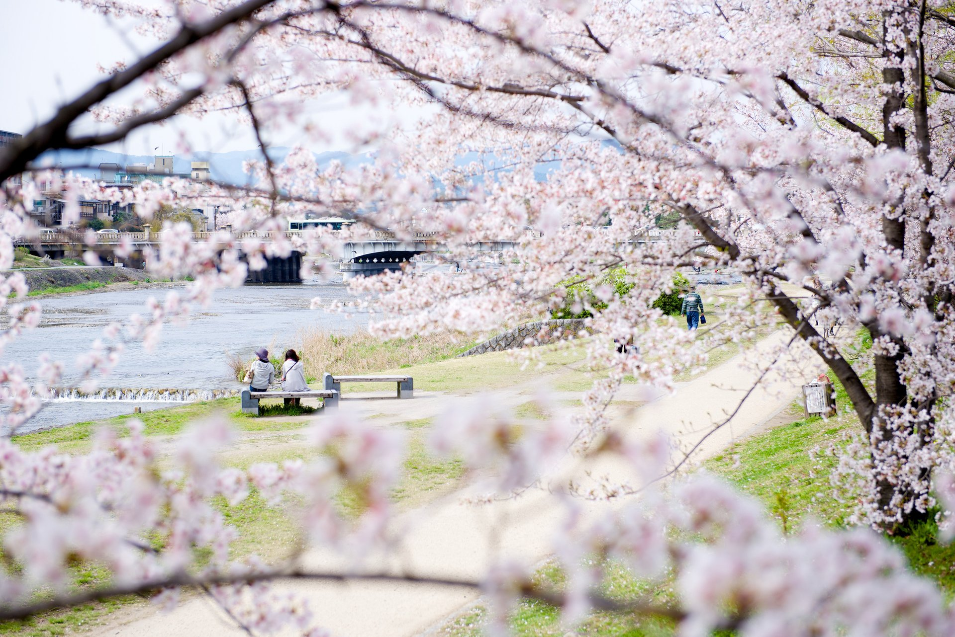 Best time for Cherry Blossom in Kyoto 2020