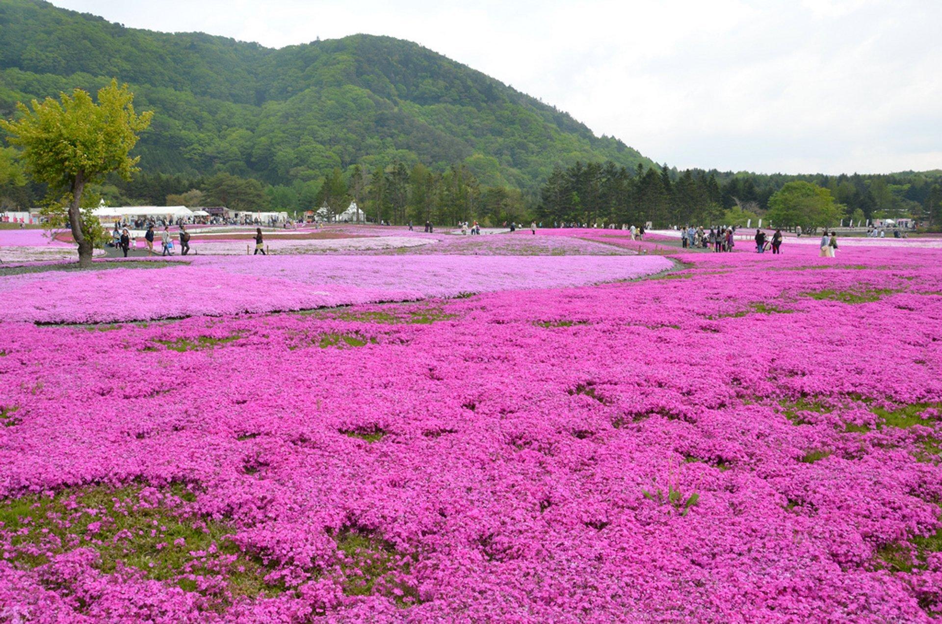 Best time for Fuji Shibazakura in Japan