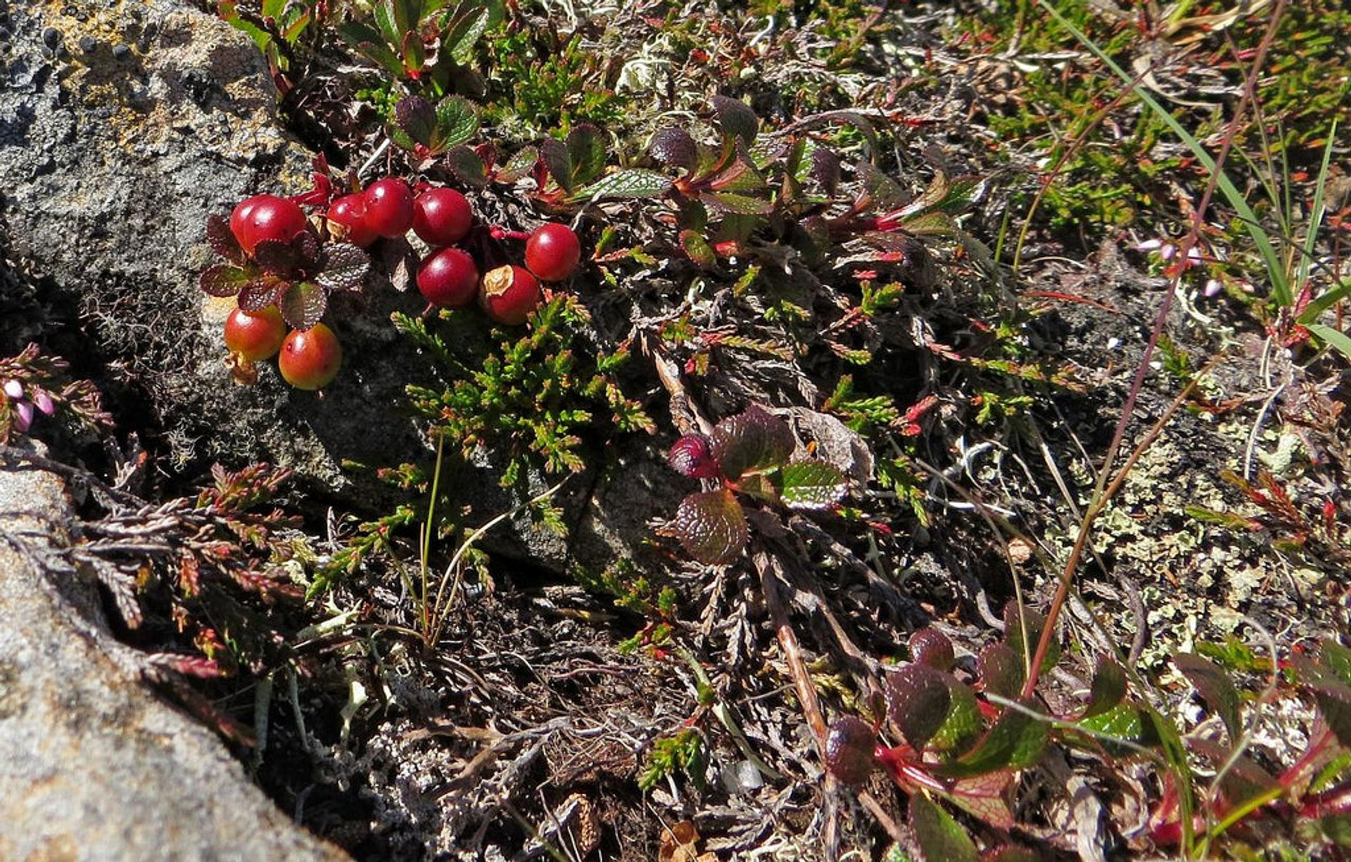 Bearberry is edible, but it contains acids that can give nausea, vomiting and fever if too many is eaten 2019
