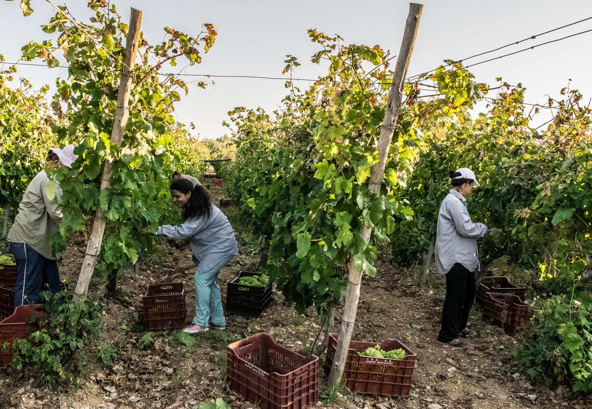 Best time for Grape Harvest in Crete 2019