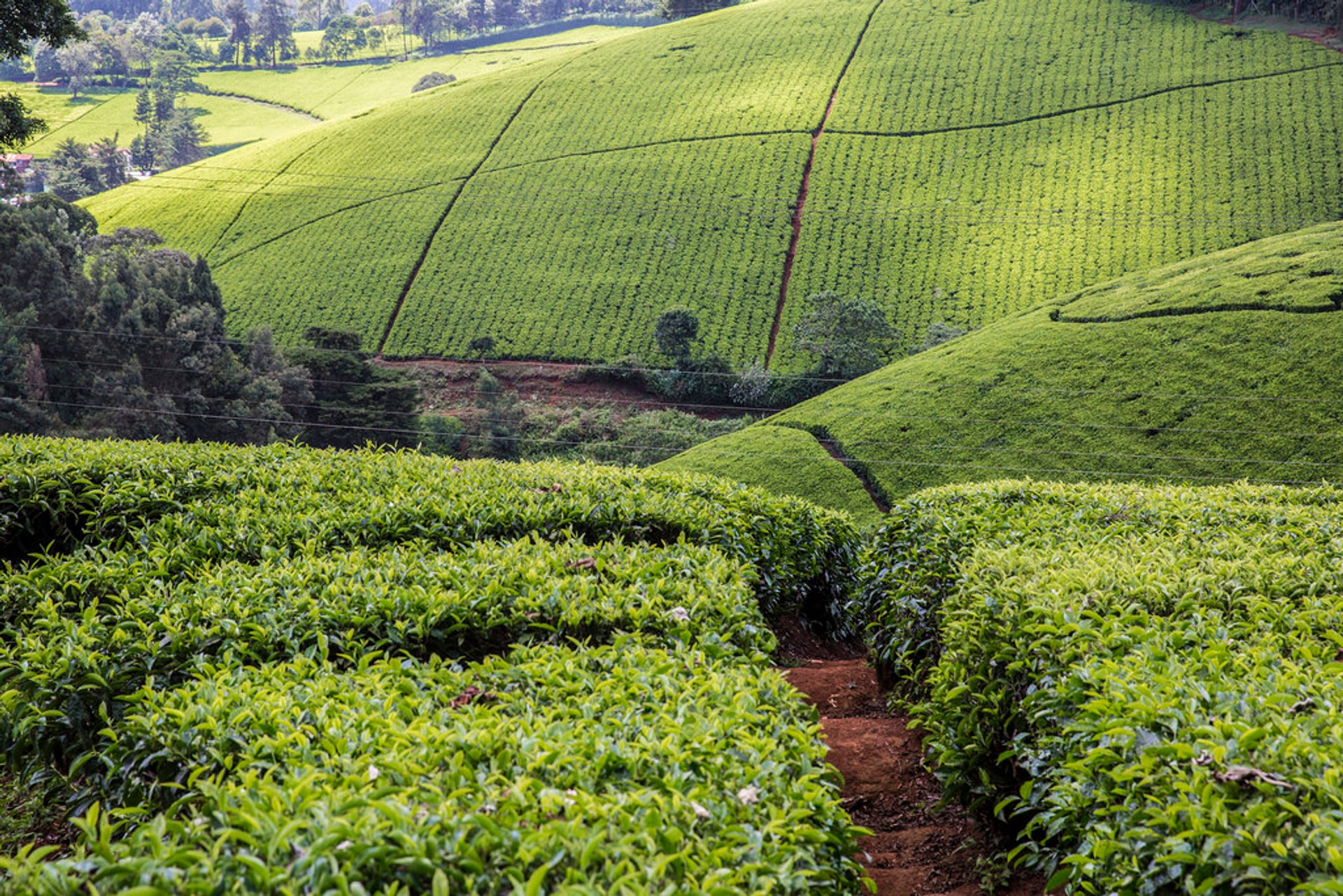 Tea Growing Season in Kenya - Best Season 2020