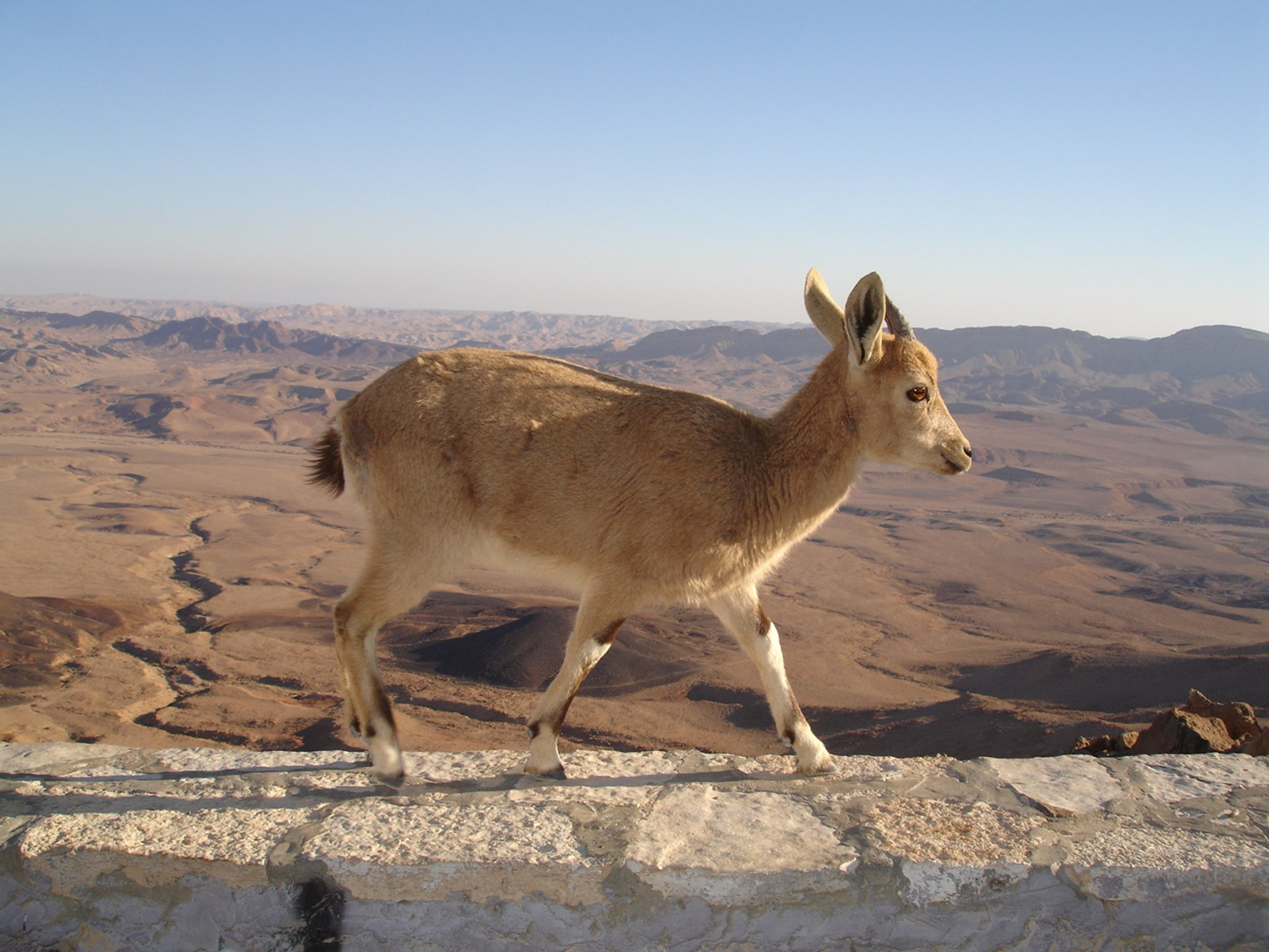 Nubian Ibex Baby Mountain Goats in Israel 2020 - Best Time
