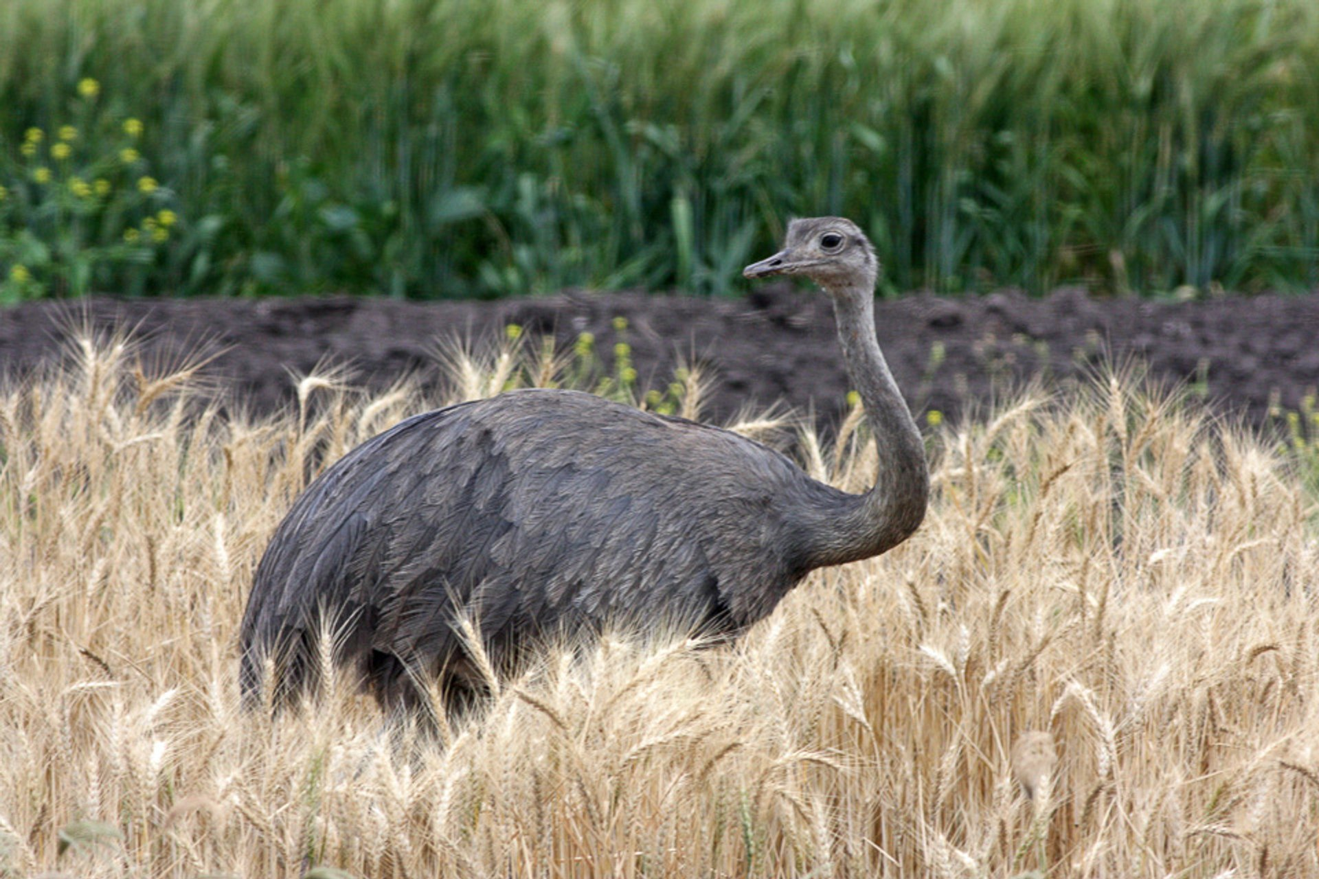 Greater Rhea in Argentina - Best Time