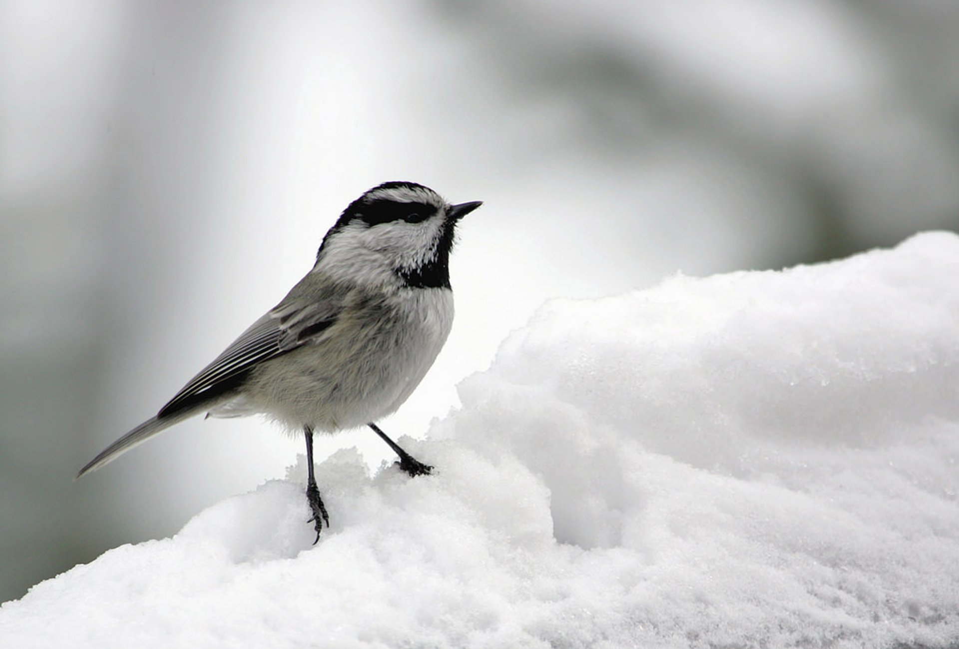 Mountain chickadee 2019