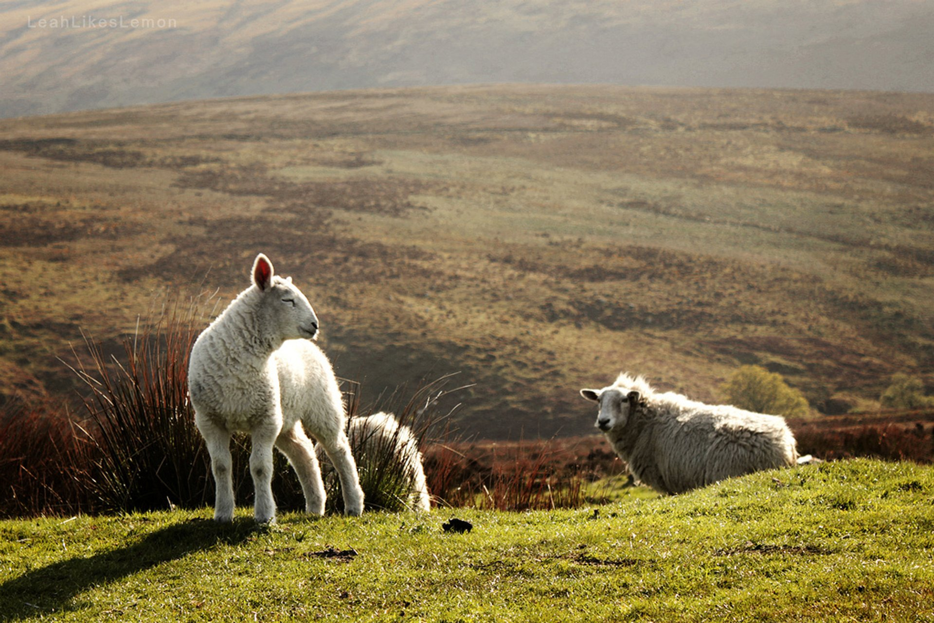 Lambing Season in Ireland 2019 - Best Time