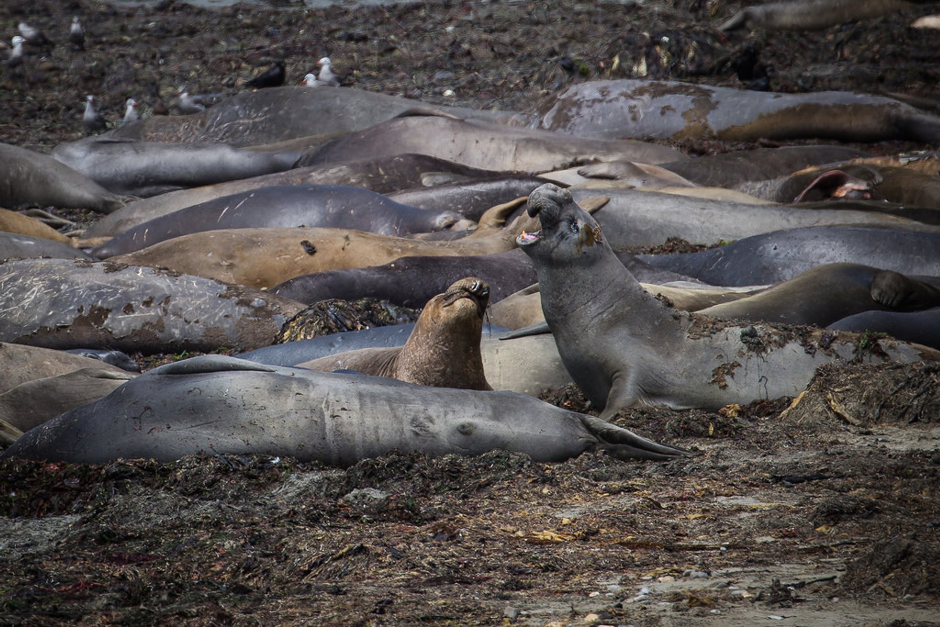 Male elephant seals practicing dominance displays in preparation for mating season in winter: Año Nuevo State Park 2020