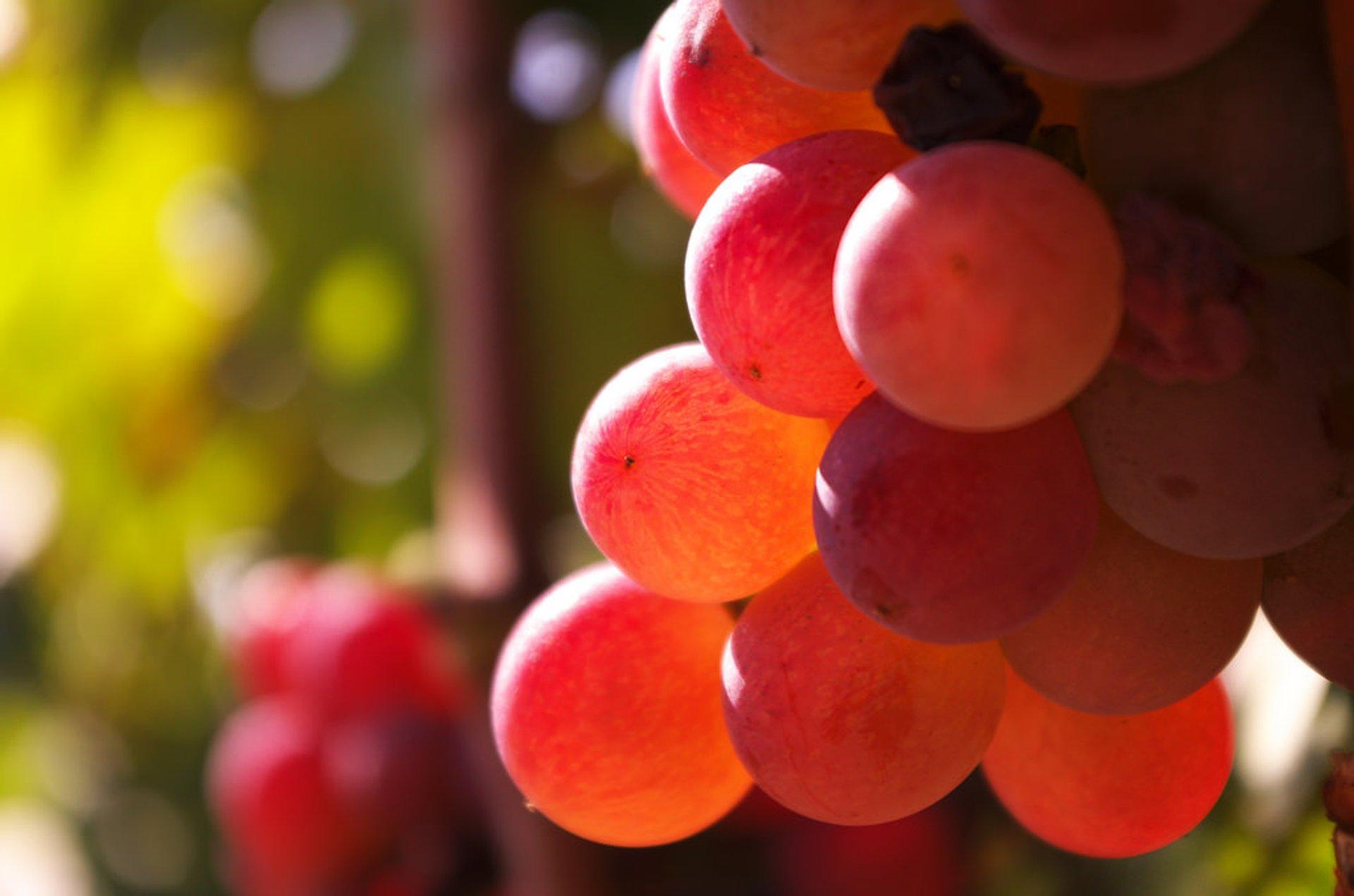 Wine Season in Corsica 2019 - Best Time