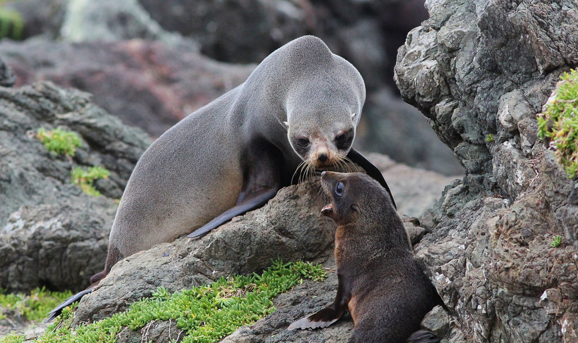 Baby Fur Seals Watching in New Zealand - Best Season 2020
