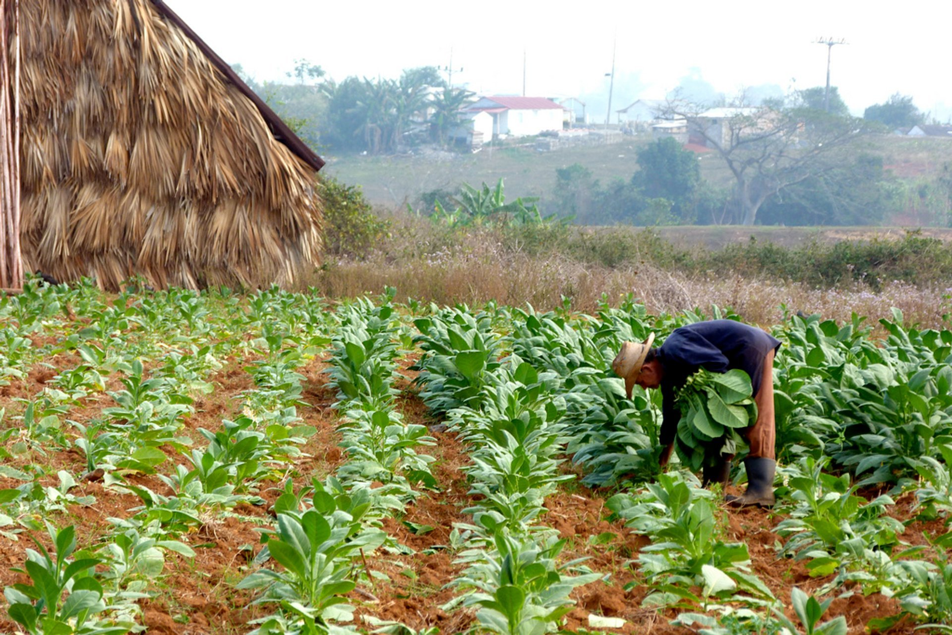 Harvesting tobacco in Vinales