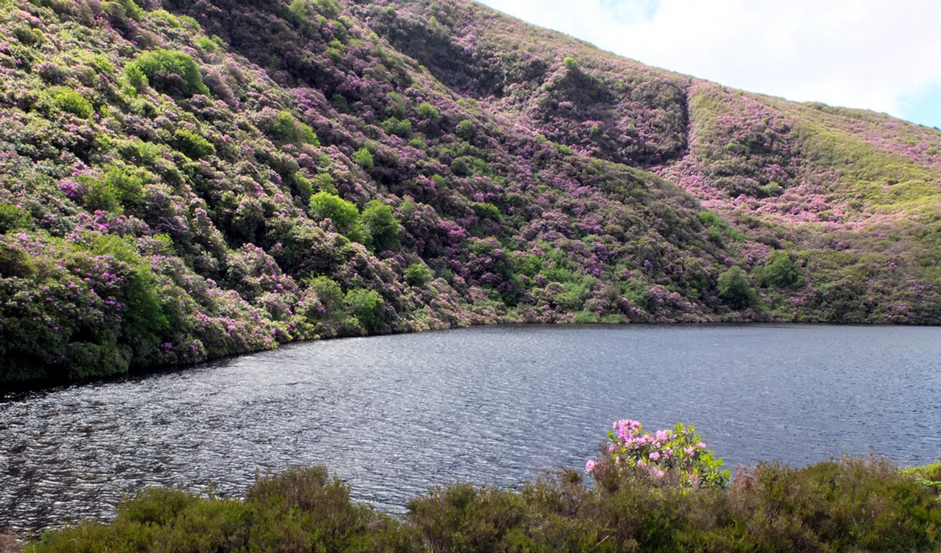 Best time to see Vee Pass Rhododendrons in Ireland 2020