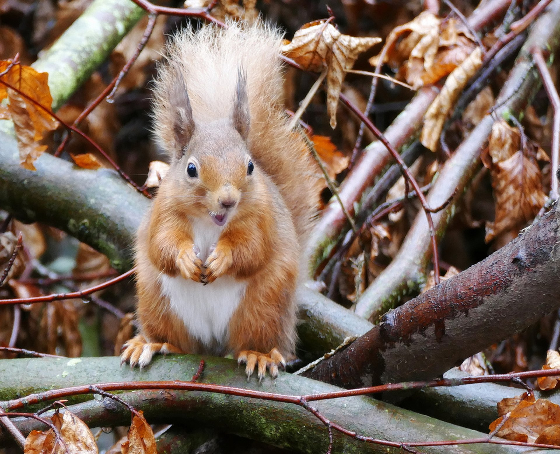 Best time for Red Squirrels in Scotland 2020