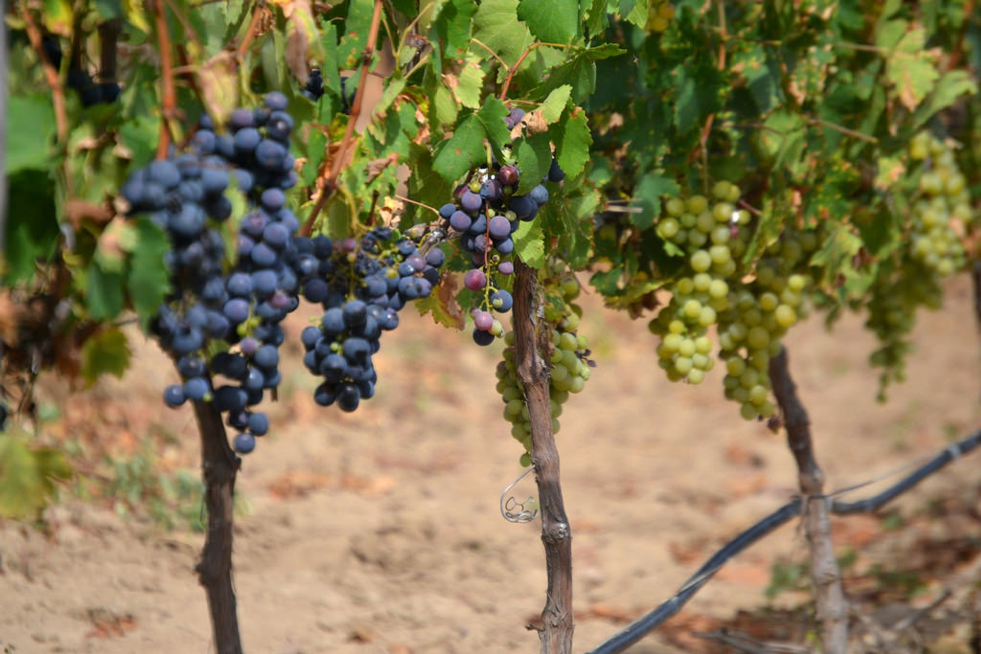 Grape Harvest in Bolivia 2020 - Best Time