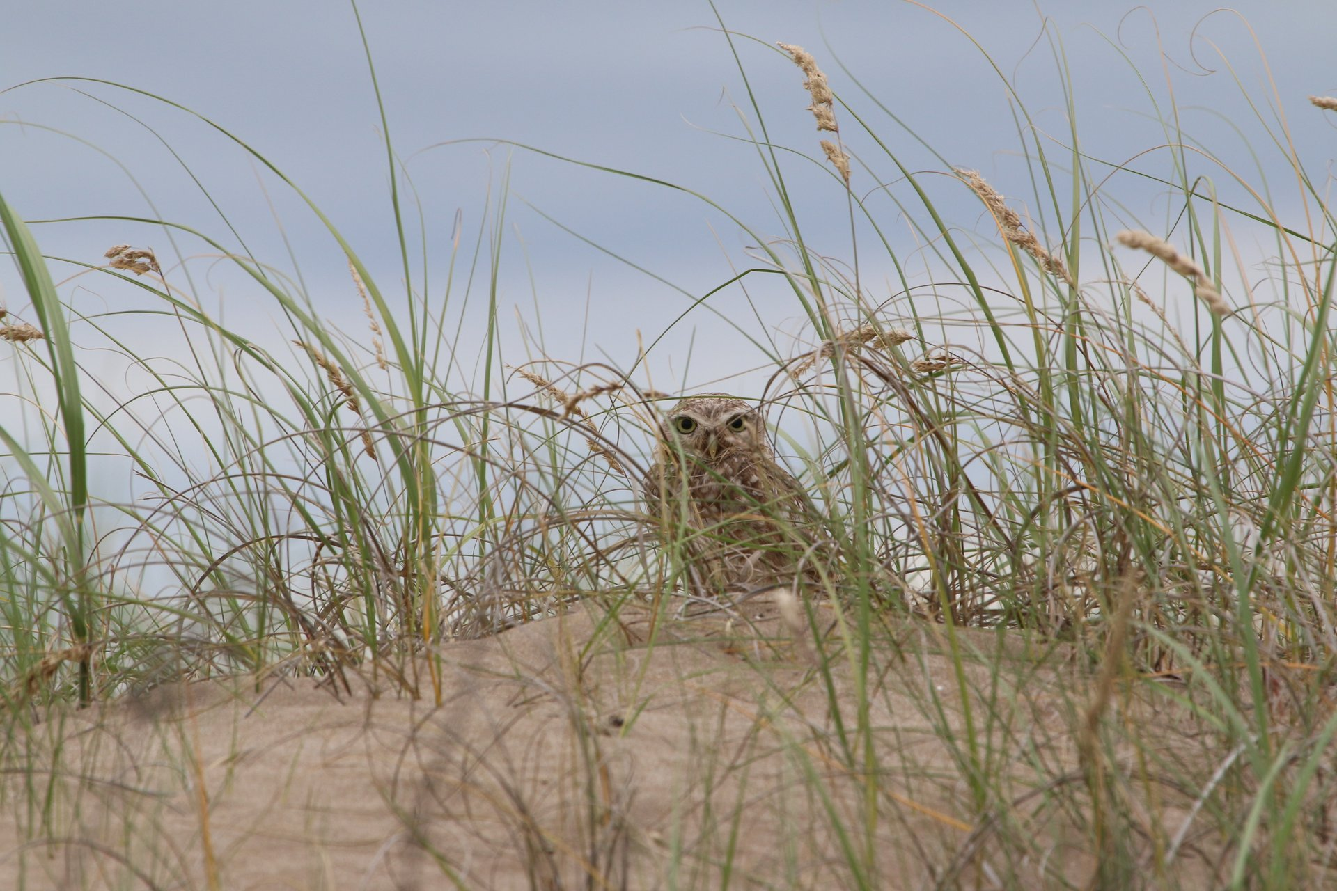 Best time for Burrowing Owl Nesting Season in Argentina 2020