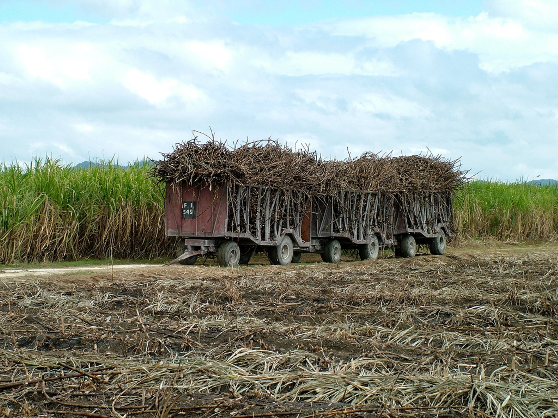 Sugar Cane Harvest in Jamaica 2020 - Best Time
