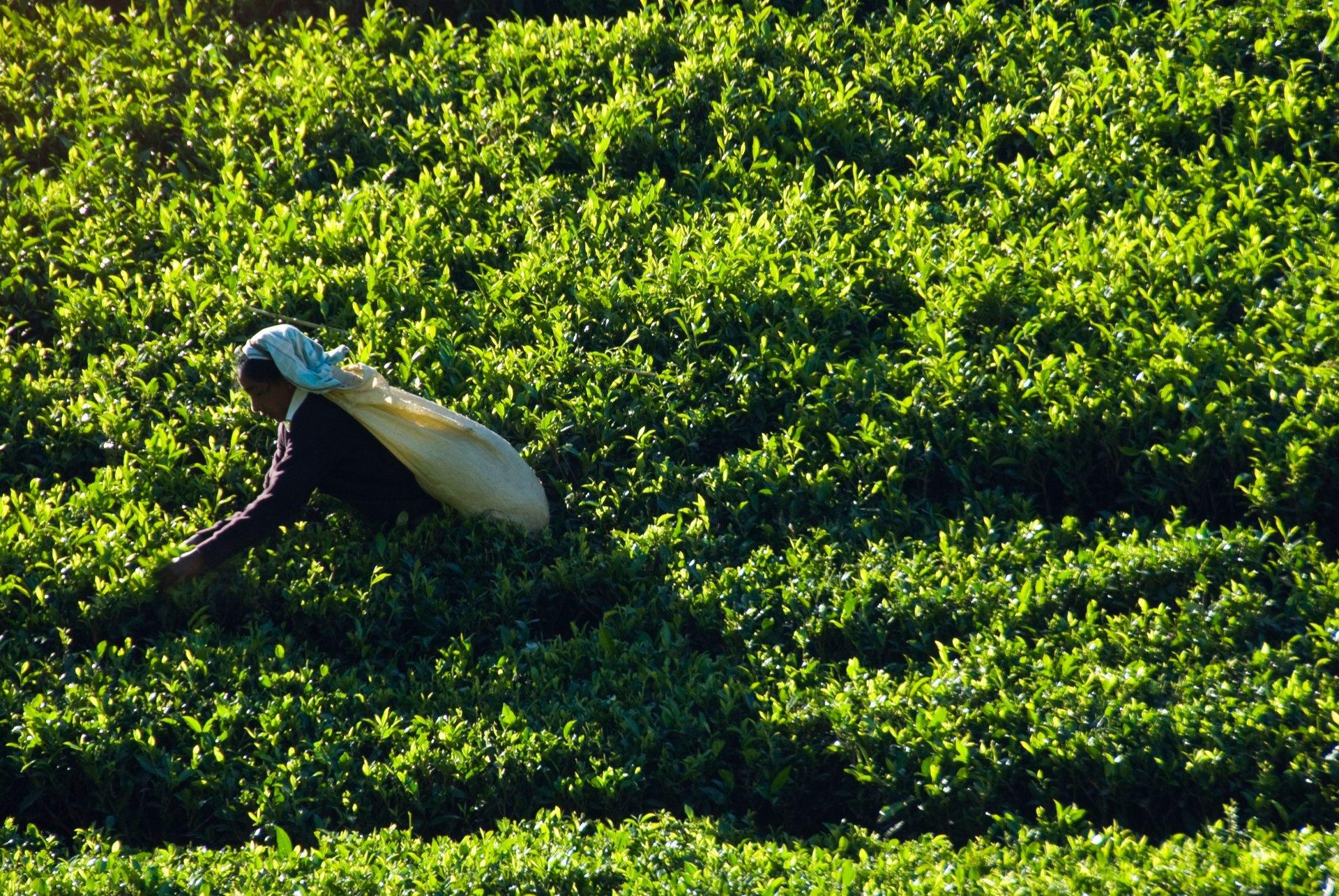 Tea Harvest in Sri Lanka 2019 - Best Time
