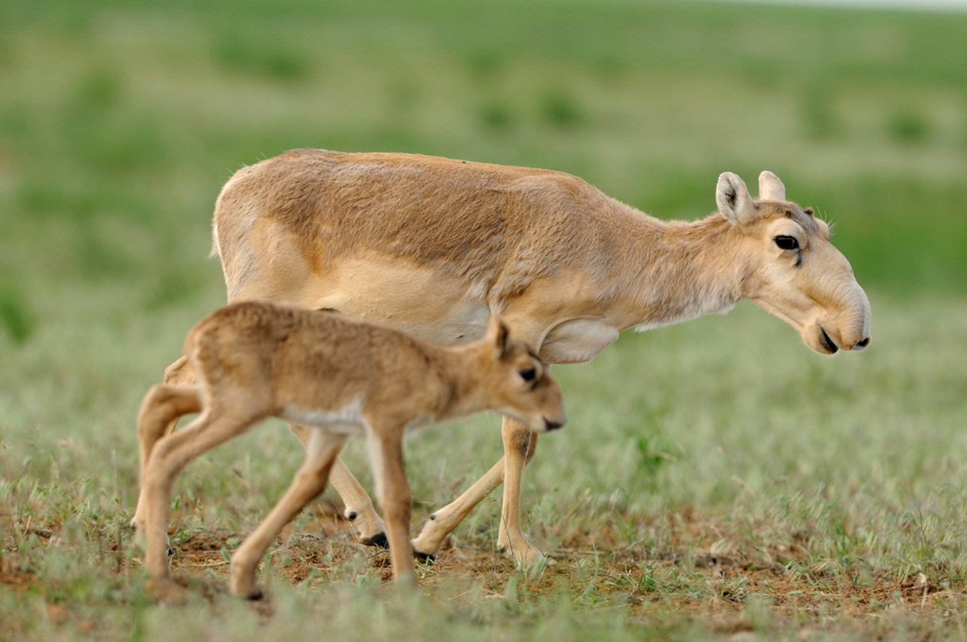 Saiga Antelopes in Kazakhstan 2019 - Best Time