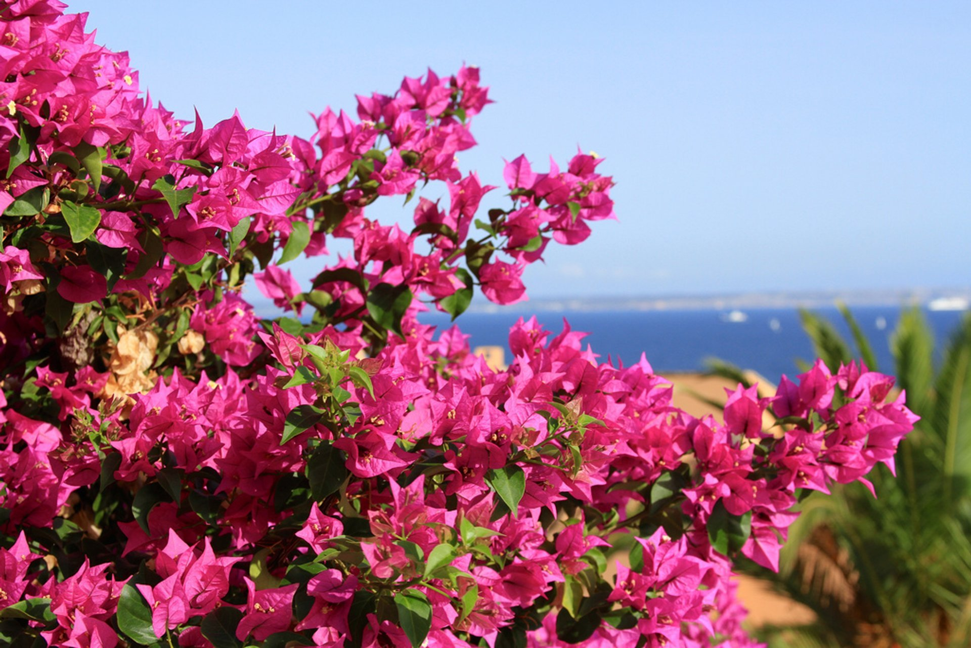 Best time for Bougainvillea Bloom in Mallorca 2020