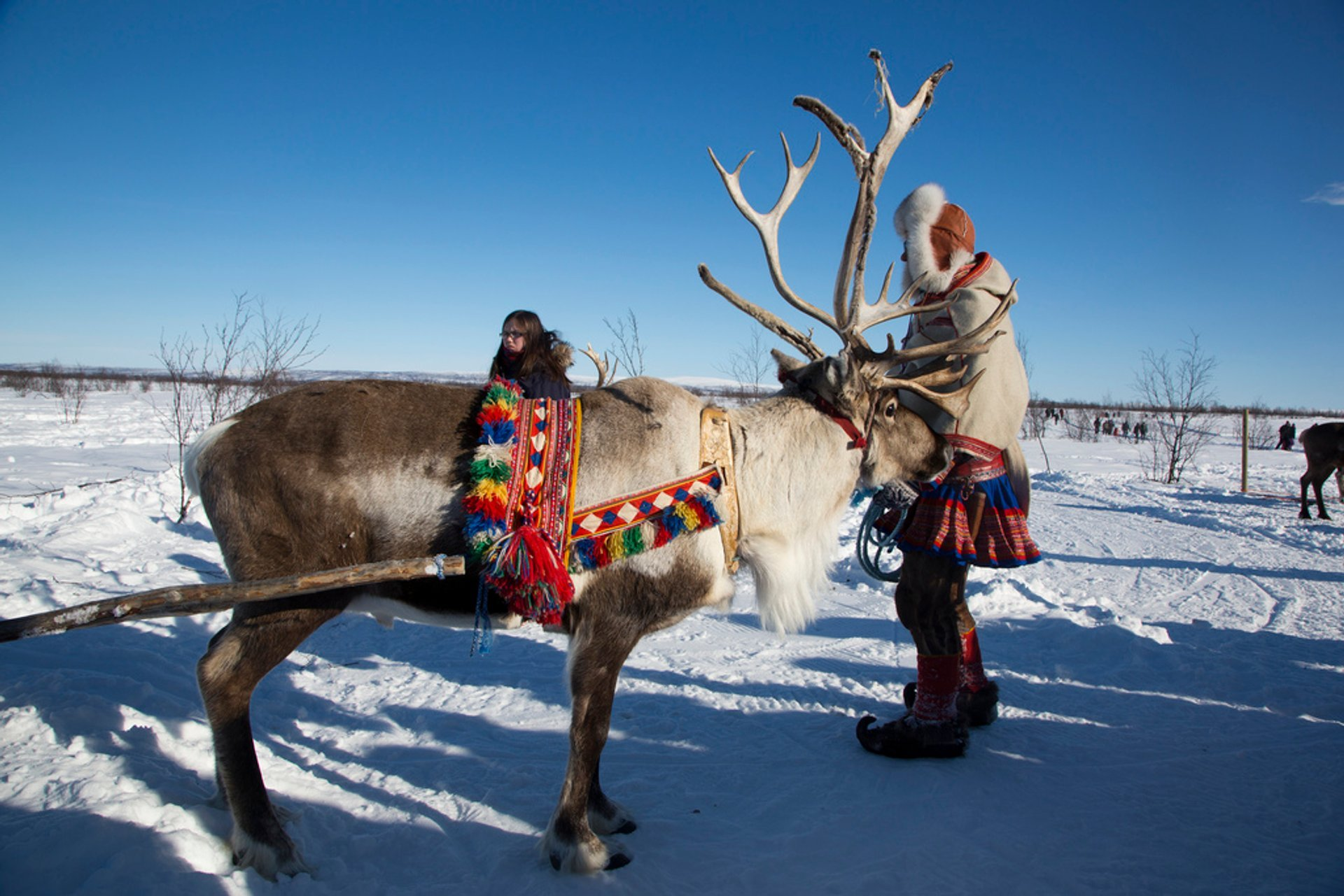 Reindeer ready for sleigh ride, Kautokeino 2020
