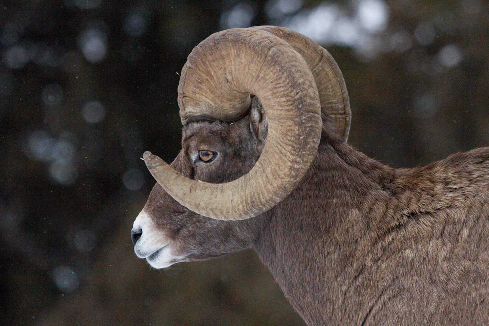 Bighorn Sheep in Yellowstone National Park - Best Season 2019