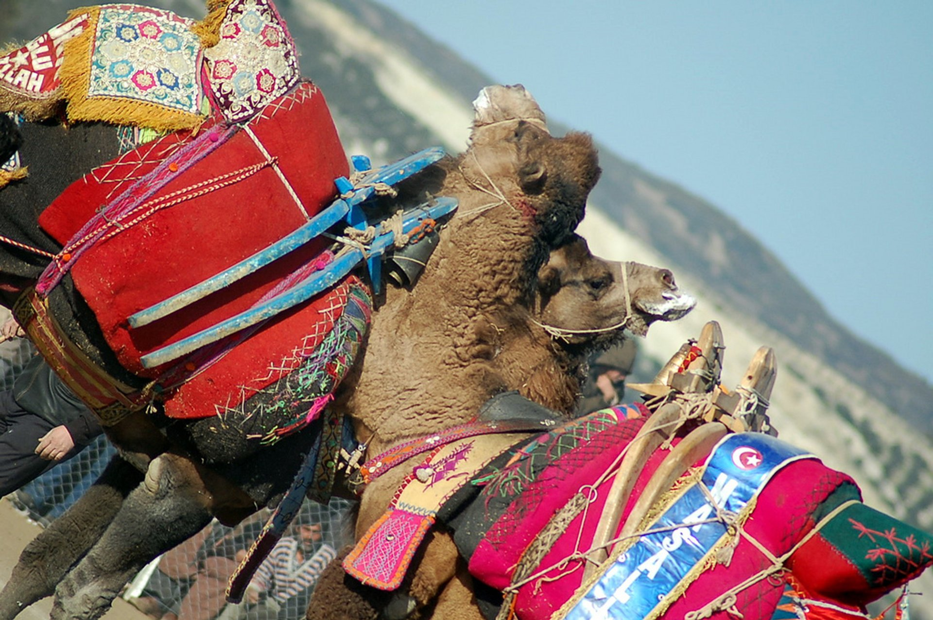 Camels lock necks and then push and pull until one loses balance and falls down