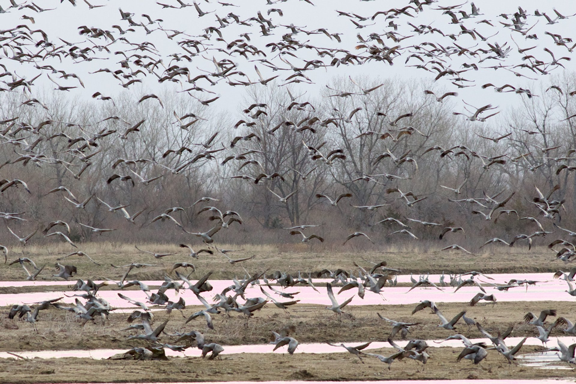 Sandhill Crane Migration in Midwest 2020 - Best Time