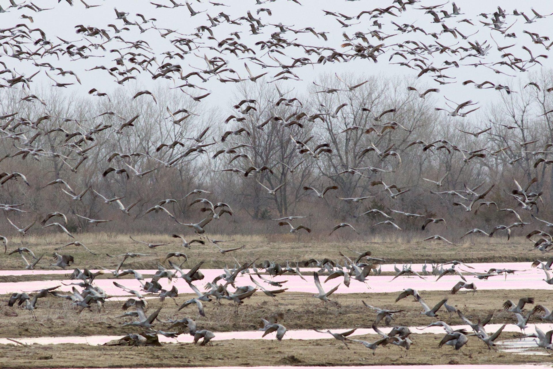 Sandhill Crane Migration in Midwest - Best Time