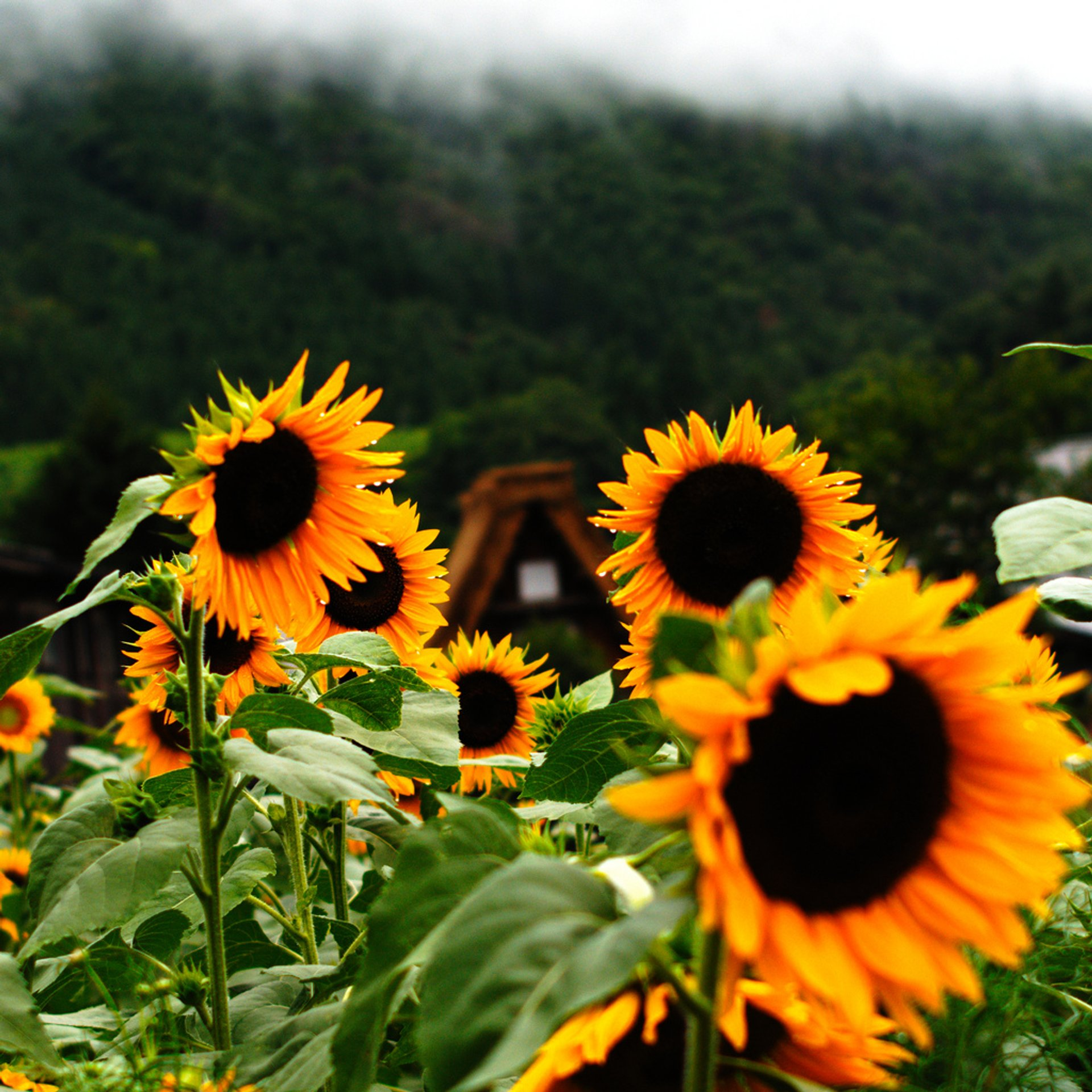 Sunflowers in  Shirakawamura, Gifu Prefecture, Japan 2020