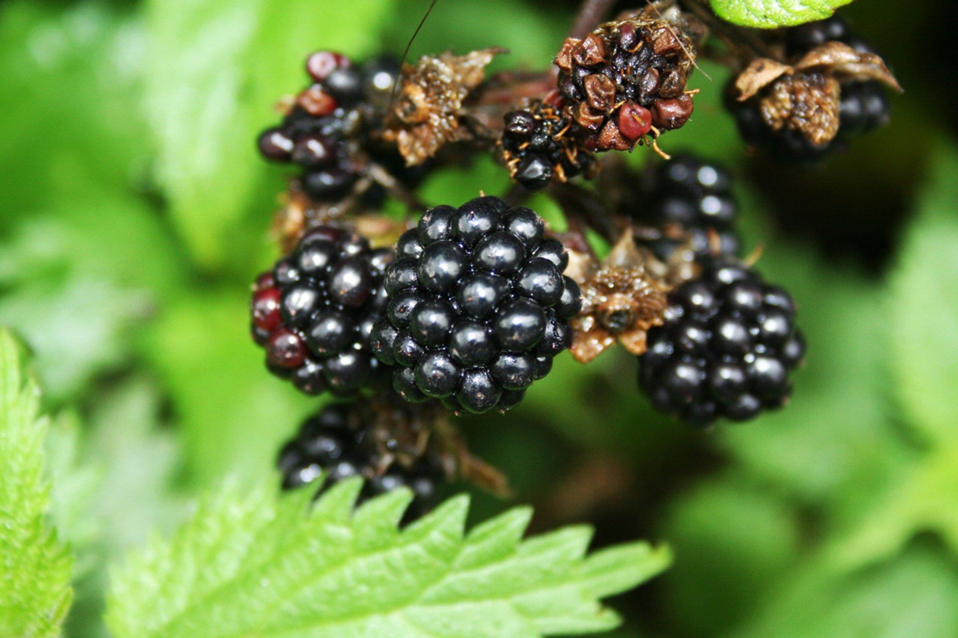 Blackberries in Ireland - Best Season 2020
